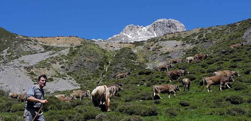 Ganaderia-Remoña-Picos-de-Europa