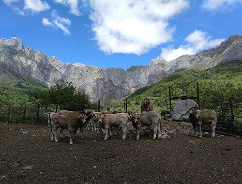 jatos raza parda alpina - visita ganadería de vacas - hostal remoña