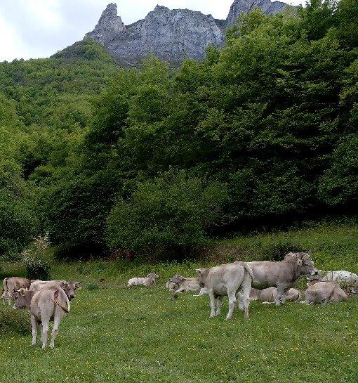 Ganado libre en el prao - visita ganadería de vacas - hostal remoña